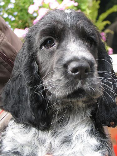 I wish... to have a pet cocker spaniel (not just at my parents)