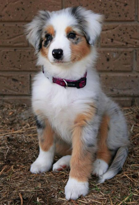 Favorite breed in the whole world, Australian Shepherd. Smart, loyal, loving, and funny. Just lost my sweet Auzzy boy and I miss him every day. Will have one again soon! Love you Auz (: