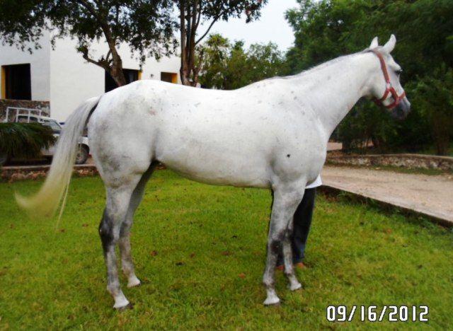 Caballo moro cuarto de milla caballos pinterest for Caballos cuarto de milla