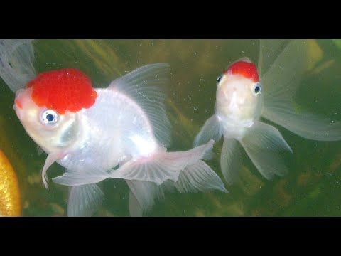Goldfish Pet Care | Goldfish Species | Red Cap Oranda | Red Cap Goldfish...