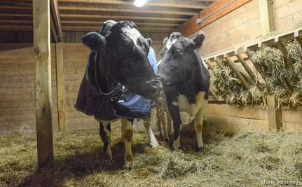 Two Blind Cows 350 Miles Apart Come Together to Form a Beautiful Friendship