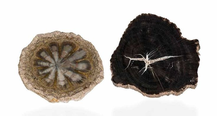 A petrified pinecone from Argentina and petrified wood from Utah