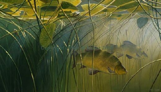 Tench in the Lilies by David Miller open edition print A3: £44.00 A2: £54.00