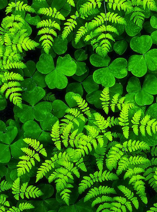 Ferns and Oxalis are made for each other, being perfectly suited for identical site conditions and having complementary texture, height color. Any fern with any Oxalis will make a pleasing combination, guaranteed.