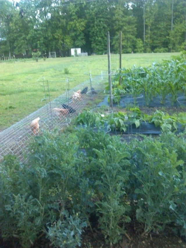Nasıl bir DIY Backyard Tavuk Tüneli kurmak için