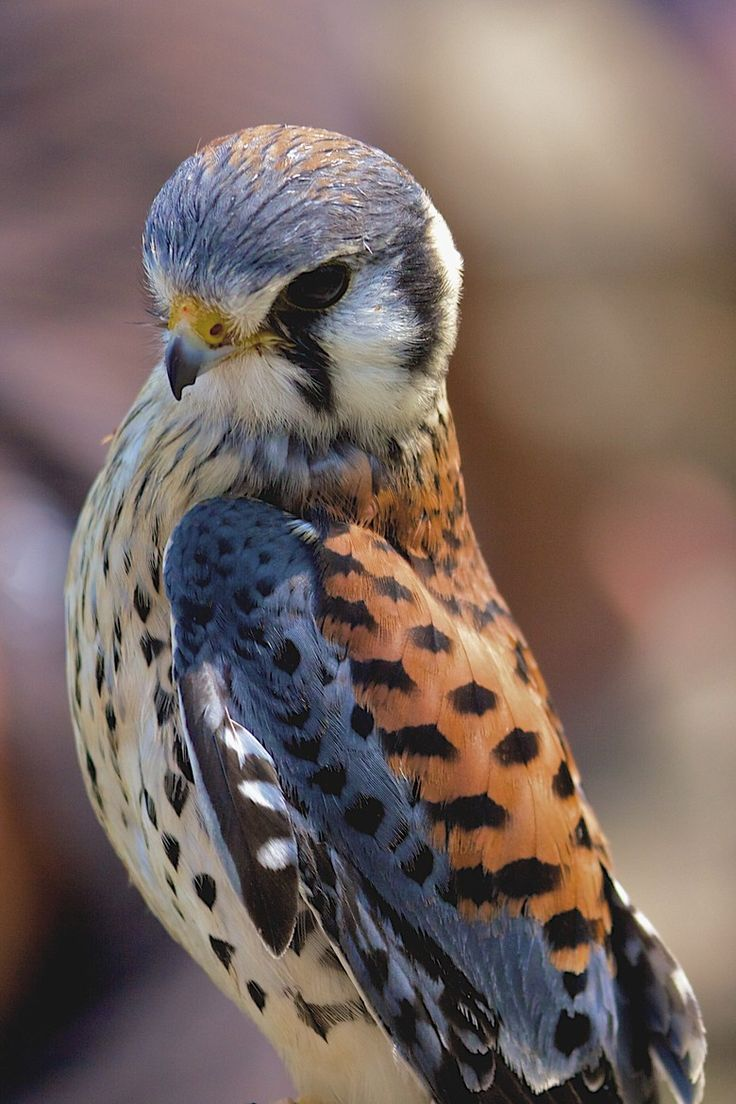 American Kestrel by Murray MacLeod) aka Sparrow Hawk