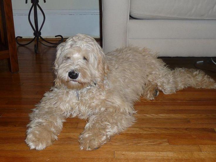 Green Gables Labradoodles - East Coast - South Carolina - Grace George - Labradoodle Breeder And Labradoodle Dog