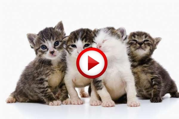 Kittens Watching Tennis Video #animals, #cats, #funny, #tennis, https://facebook.com/apps/application.php?id=106186096099420