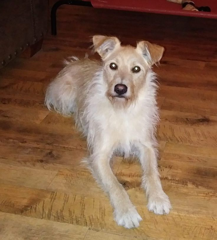 Golden Retriever Terrier Mix Dog for Adoption Detroit Windsor – Adopt Scruffy Today