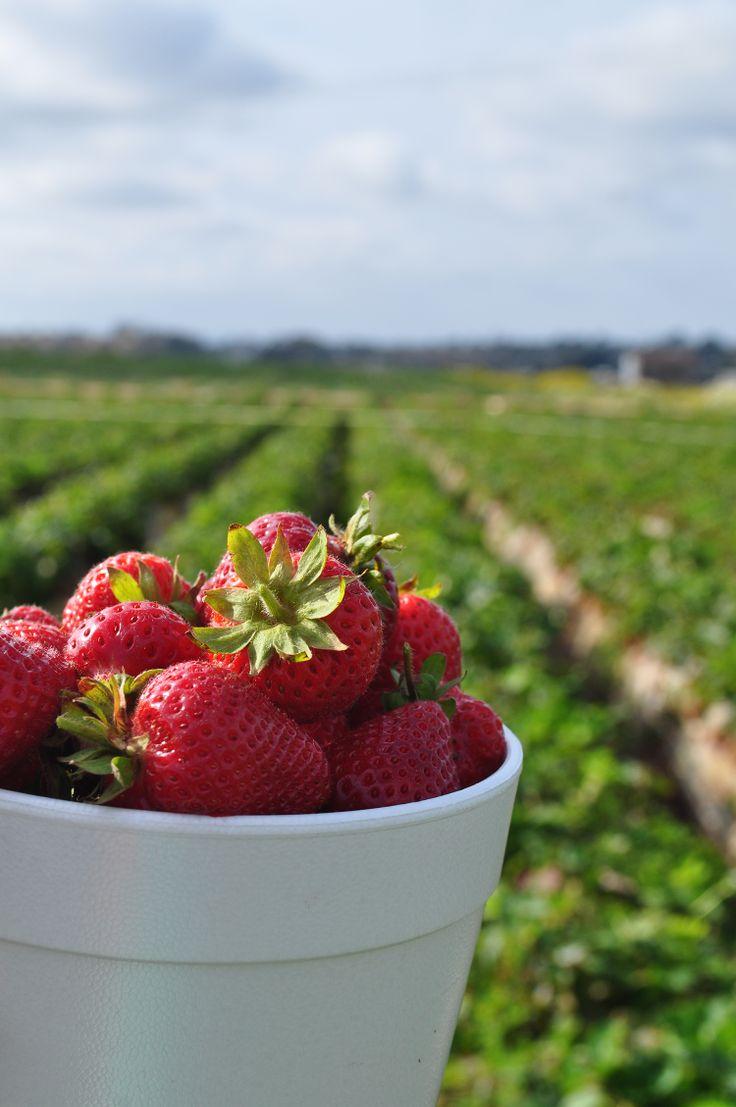 Picking fresh strawberries | Strawberry field in Carlsbad, CA