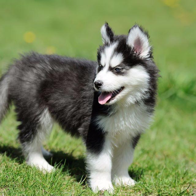 Cute Siberian Husky Puppy On Grass Siberian Husky