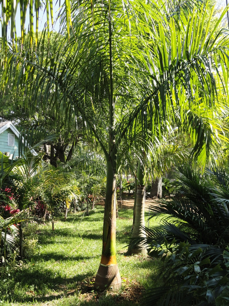 Royal Palms In Our Yard Ken S Palm Trees In St