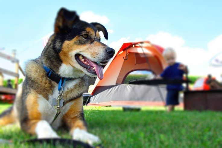 Go camping with your dog requires more effort, but it is not as difficult as you may think. First you need to know if the campsite chosen accepts our four-legged friends.For a winter stay it is necessary to cover the trunk of the dog leaving uncovered legs, tail and head. For a summer camp it is better to shave the hair of the dog to prevent it from suffering from the heat.In the early days it is best to keep it on a leash. Although docile, not knowing the place, it might feel lost, go…