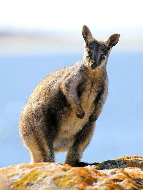 Yellow tail rock wallaby by john white photos, via Flickr