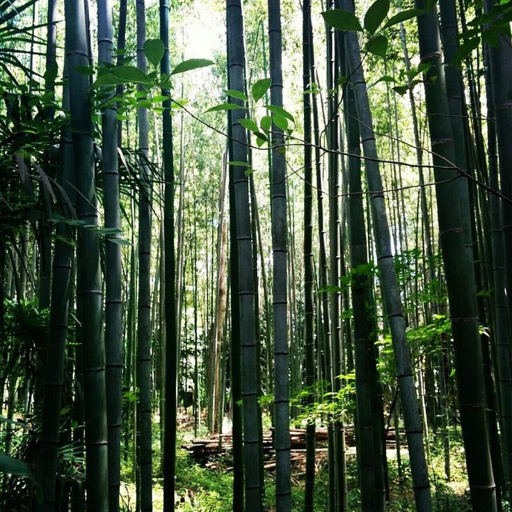 Throwback to the magical Bamboo Forest in Arashiyama #bamboo #grove #magical #forest #arashiyama #sagano #kyoto #japan #tb #jrpass #japanrailpass #travel #summer #holiday #happytrip