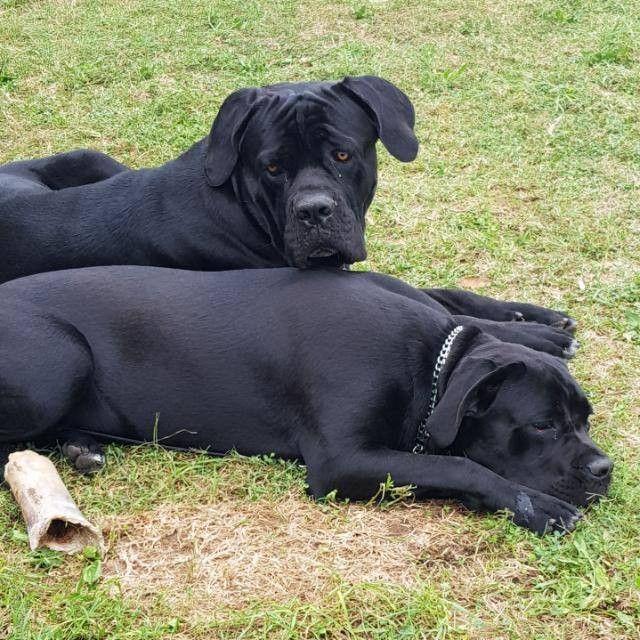 Cane Corso Italiano Cane Corso Dogs Labrador Retriever