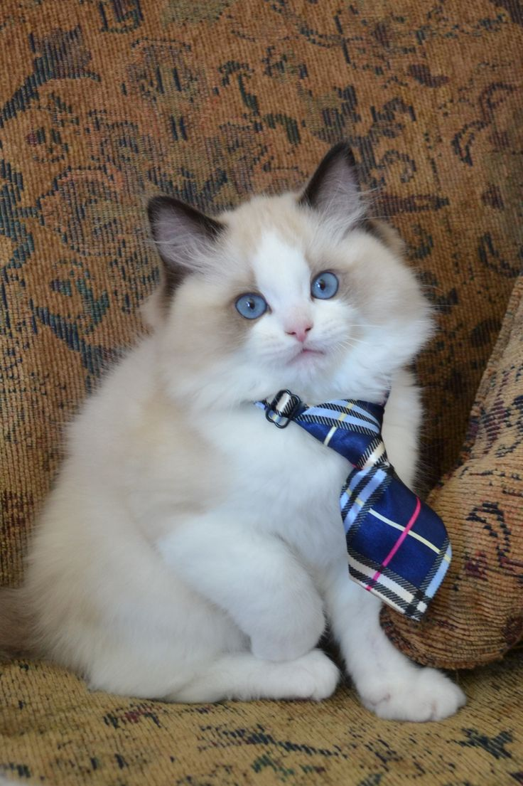 99 best Our Ragdoll Kittens images on Pinterest