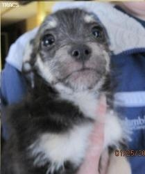 Parker is an adoptable Schnauzer Dog in Thompson Falls, MT. Parker is the cutest little mixture of fun loving and playful and smart! He is a mini schnauzer looking boy who is likely a mixture with sch...