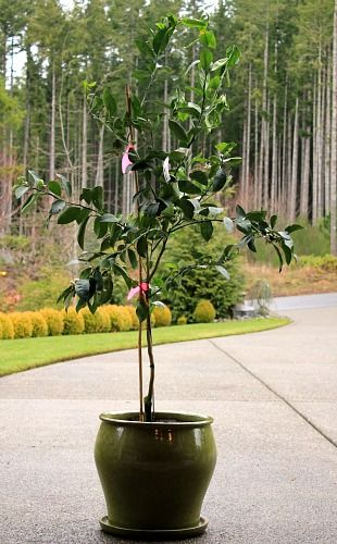 How To Plant A Meyer Lemon Tree In Container Garden Outdoors Pinterest Plants And