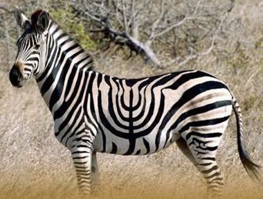 Menorah Zebra!