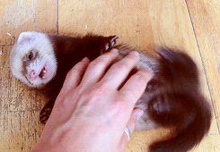 Ferret Meme | playing *gifs baby animals ferrets baby ferrets