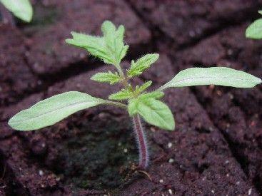 Faire ses semis : mode demploi Voici le matériel et la méthode à utiliser pour réussir ses propres semis, ainsi que les avantages à procéder ainsi.