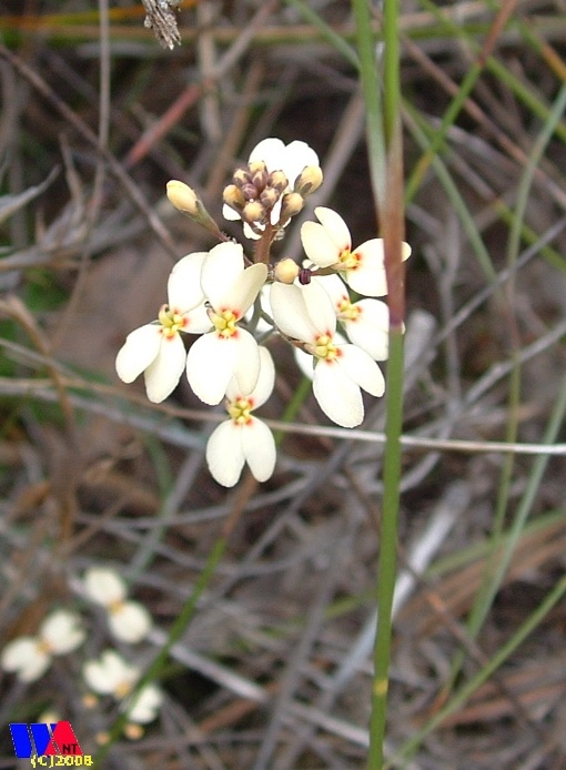WILDFLOWERS | Western Australia - Reed trigger plant