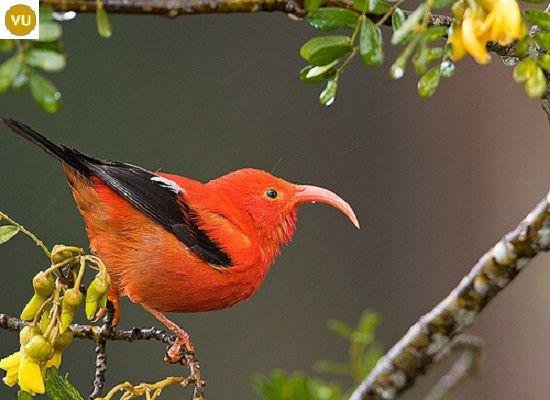 https://www.facebook.com/WonderBirdSpecies/ ʻIʻiwi (Drepanis coccinea); Native to Hawaiian Islands; IUCN Red List of Threatened Species 3.1 : Vulnerable (VU)(Loài nguy cấp)    Chim 'I'iwi; Loài bản địa Hawaii; HỌ SẺ THÔNG - FRINGILLIDAE (True Finches).