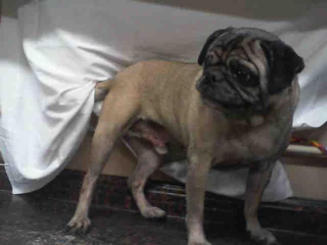 Pug dog for Adoption in Las Vegas, NV. ADN-483013 on PuppyFinder.com Gender: Male. Age: Senior