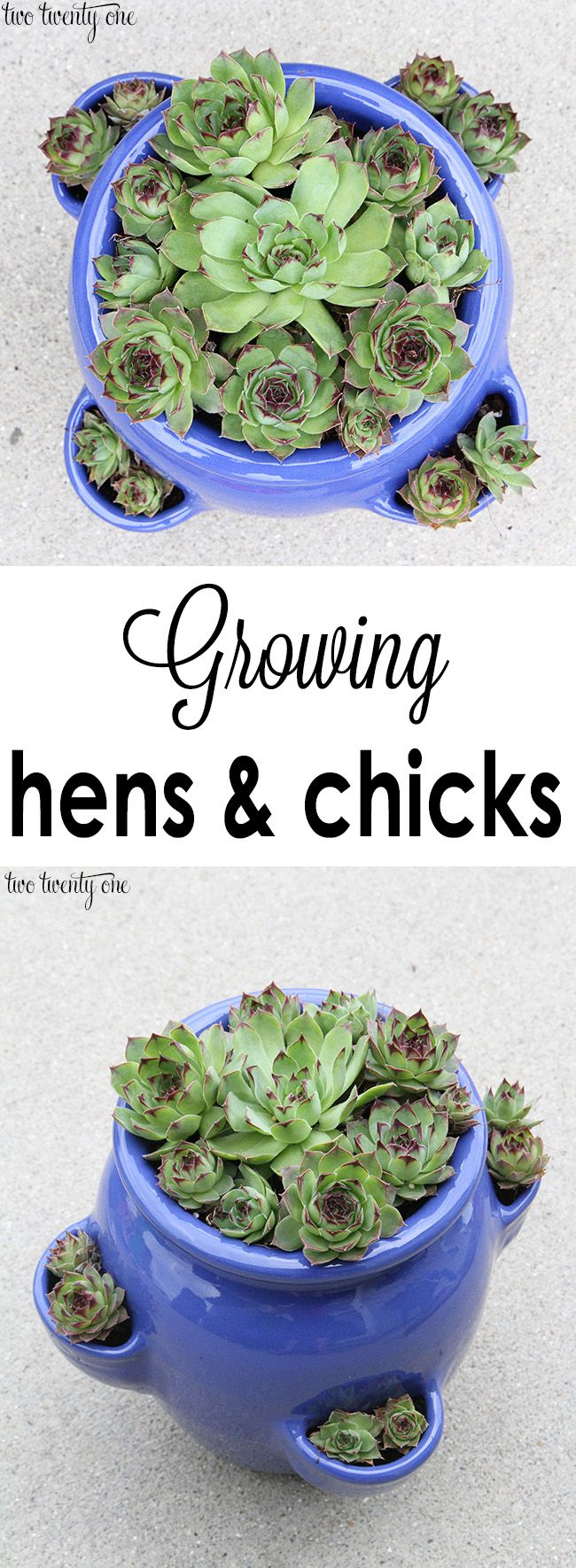 Tips and tricks for growing hens and chicks - replanting some of these beauties from my parents!