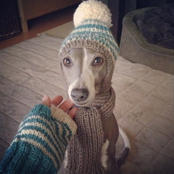 An Italian Greyhound all bundled up with such cuteness