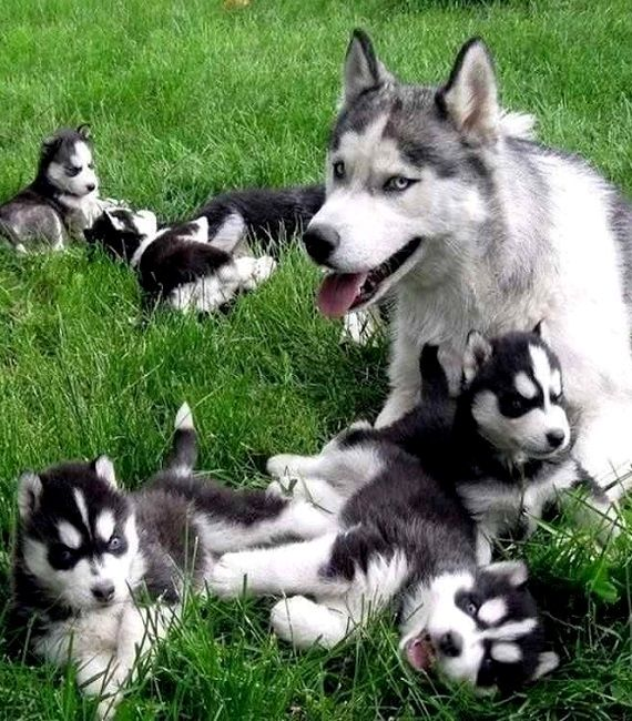Siberian Husky Family..
