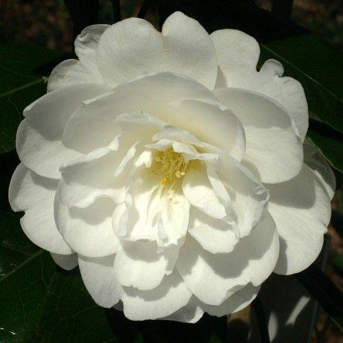 'Alba Grandiflora'