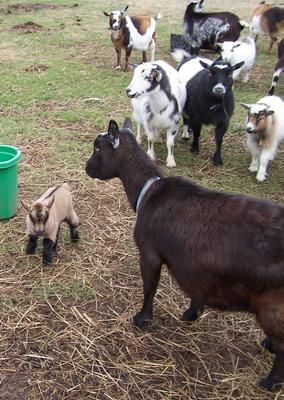 Boer goats,Nigerian Dwarf goats,Pygmy goats for sale. We are breed and sell Boer goats,Nigerian Dwarf goats and Pygmy goats, we have lots in stock of various