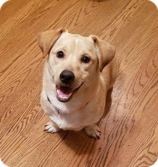 Tenafly, NJ - Corgi/Labrador Retriever Mix. Meet Charlie, a puppy for adoption. http://www.adoptapet.com/pet/17891989-tenafly-new-jersey-corgi-mix