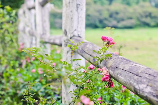 Perfectly pink roses on a weathered fence. Midlands Meander magic: www.midlandsmeander.co.za Image: Lauren Setterberg
