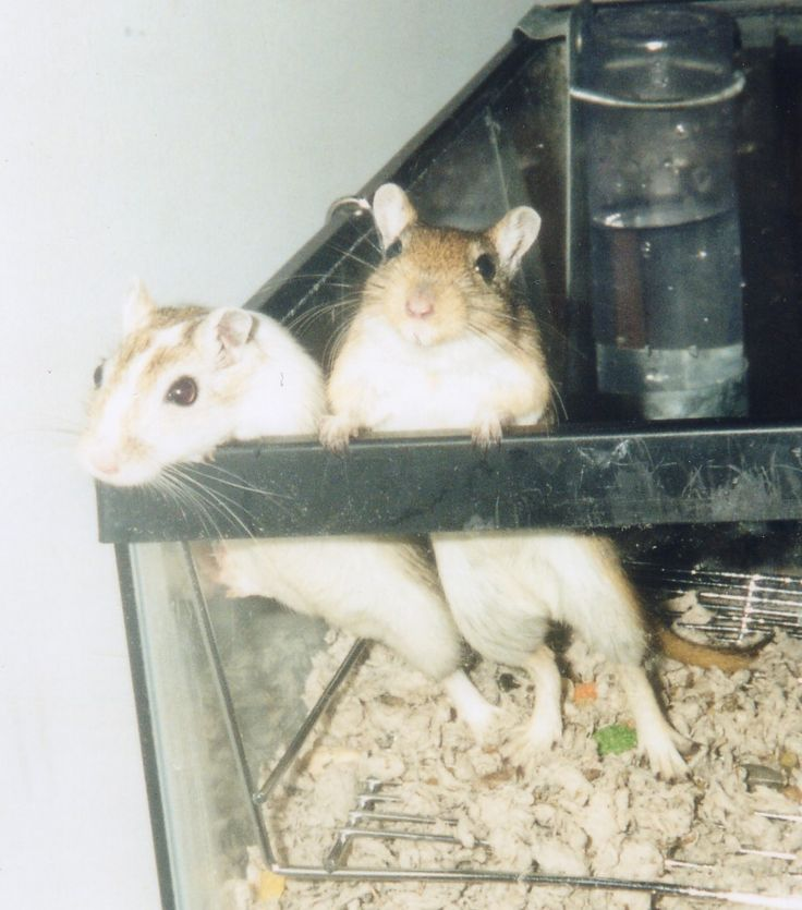 Best images about gerbils on pinterest hamster house
