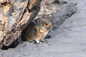 The American pika is considered an indicator species for detecting ecological effects of climate change.