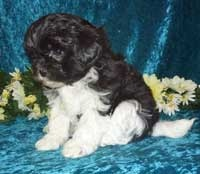 Furbaby Puppies: maltipoo breeder, shihpoo breeder | shihpoo puppies for sale | maltipoo puppies for sale