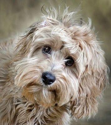 Scruffy.: Canine, Doggie, Animals, Creature, Pets, Puppy, Cute Dogs, Furry Friends