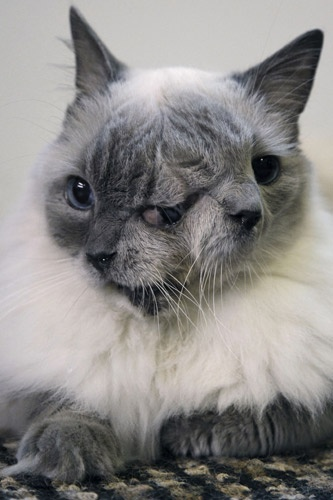 """"""" Frank and Louie """".. the cat was born with two faces, two mouths, two noses, three eyes. Twelve years after Marty Stevens rescued him from being  euthanized  because of his condition, the exotic blue-eyed rag doll cat is not only thriving, but has also made it into the 2012 edition of Guinness World Records as the longest-surviving member of a group known as  """" Janus cats,"""" , named for the Roman God with two faces.."""