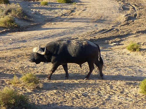 Wildebeest at Aquila Private Game Reserve. Aquila Private Game Reserve. Quote & Book:http://www.south-african-hotels.com/