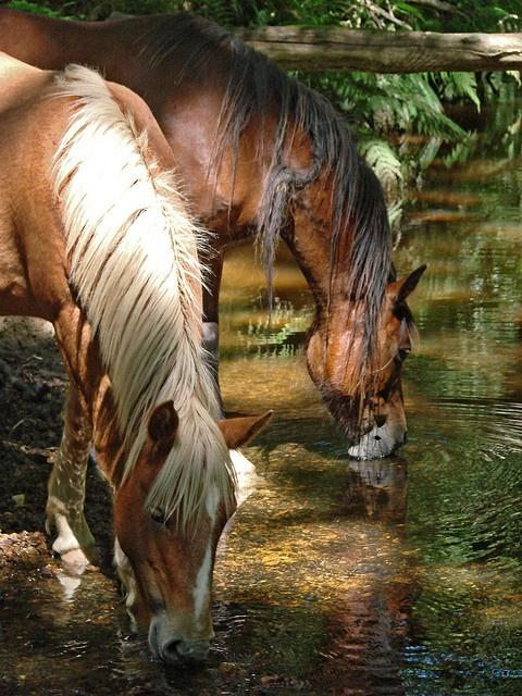 New Forest Ponies by tristanmillward, via Flickr