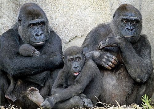 _MG_2277 | Western Lowland female gorillas and their young a… | Flickr