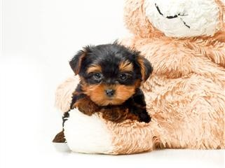 Teacup Timmy is  our YORKIE PUPPY FOR ADOPTION!!!