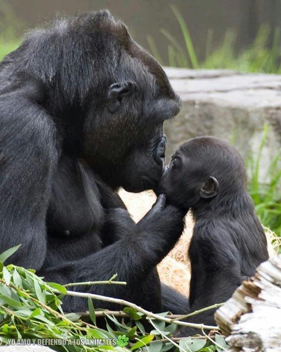 Cute baby gorilla - photo#26