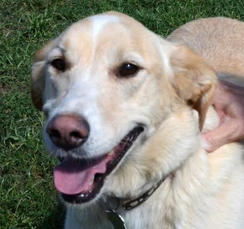 Meet LOCA - 4yrs - loves all, a Petfinder adoptable Labrador Retriever Dog | Whitby, ON | Please fill out an application form before calling or emailing questions....