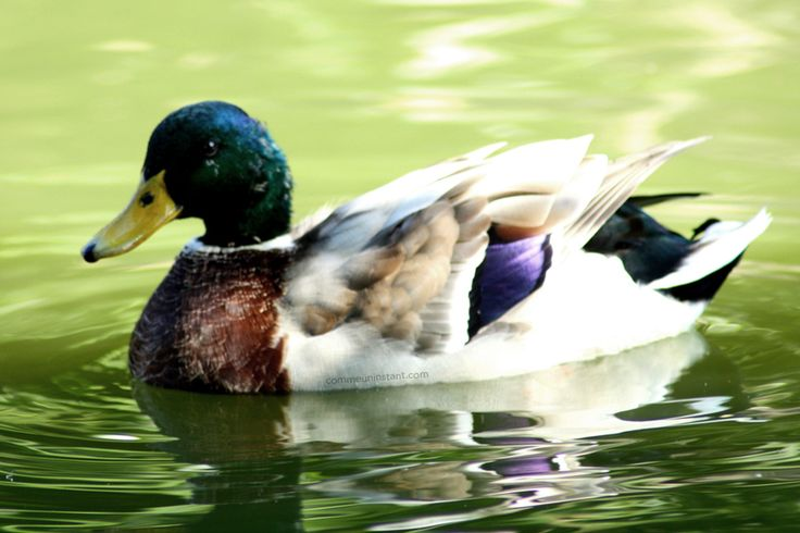 Animaux  * Canard http://www.commeuninstant.com/galerie/faune-et-flore/animaux/jardin-animalier