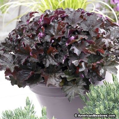 Coral Bells Palace Purple, Heuchera micrantha - Spring Perennials from American Meadows