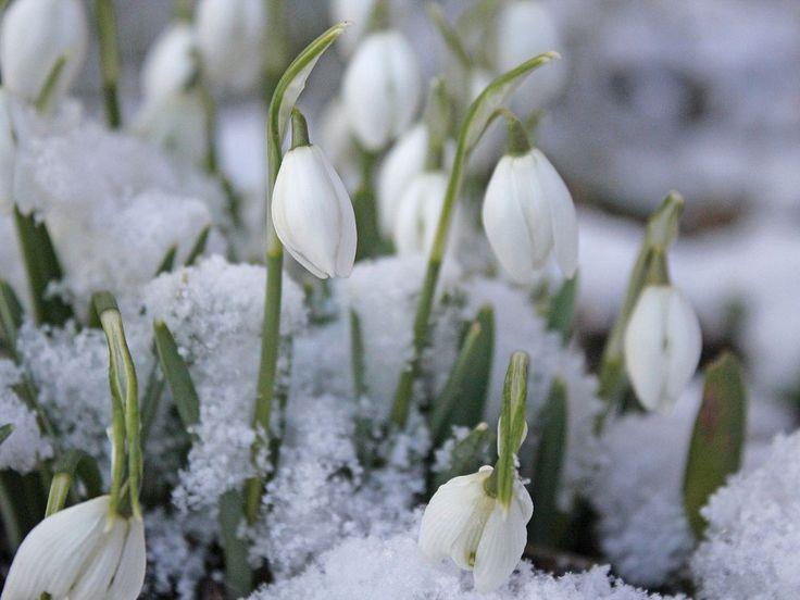 Schneeglöckchen Schnee